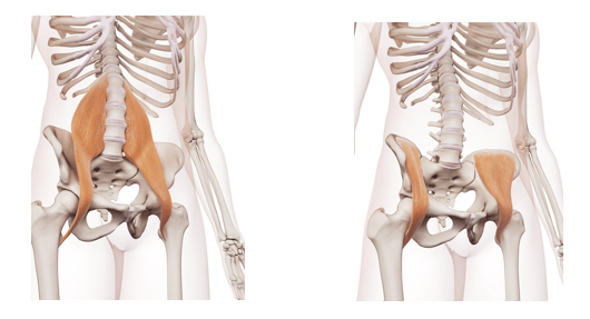 Hip Flexors Muscles involved in the bear crawl exercise