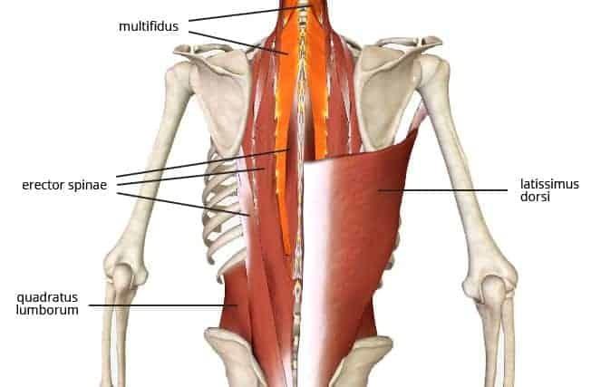 thoracolumbar extensors - anterior pelvic tilt