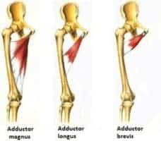 hip adductor images