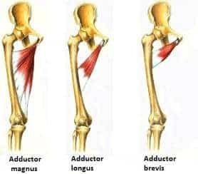adductor strain anatomy photo