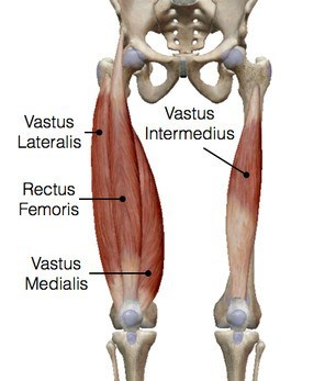 quadricep stretches - anatomy pic
