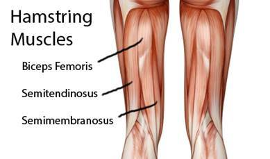 Image result for hamstring muscle anatomy