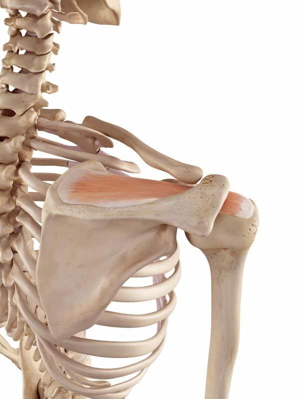 supraspinatus exercises - anatomy