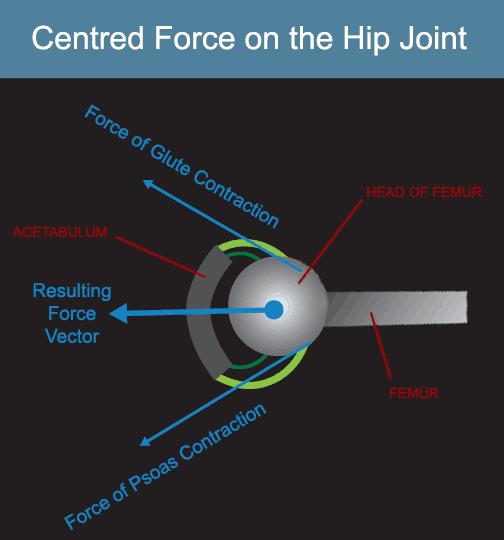 the hip internal rotators improve joint centration