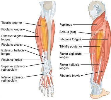 tibialis anterior and posterior - Shin Splint Stretches
