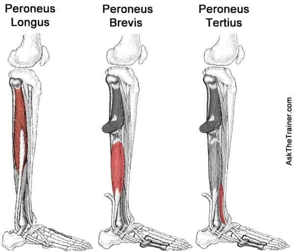 Peroneal Tendonitis Treatment and Prevention | Precision ...