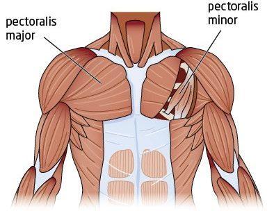 doorway pec stretch anatomy