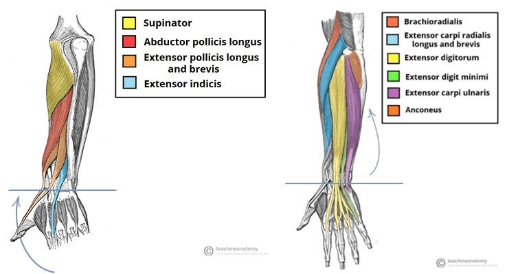 ERA Sequence to Lengthen the Wrist Extensors | Precision Movement