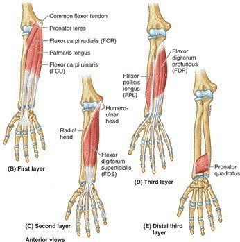 wrist flexors anatomy