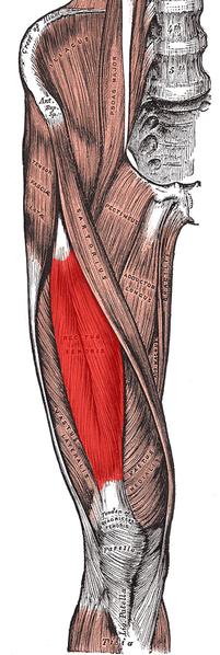 rectus femories anatomy pic