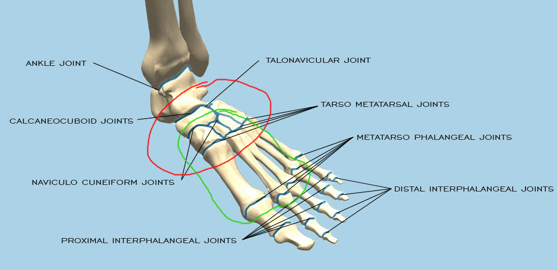Ankle Joints and Mobility - There is movement at each of the joints pictured, but the other primary movements of the ankle/foot that are relevant to the technique shared here are inversion and eversion, which occur at the joints circled in RED, and arching of the foot, which occur at the joints circled in GREEN.