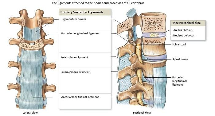 vertebral ligaments and lower back pain