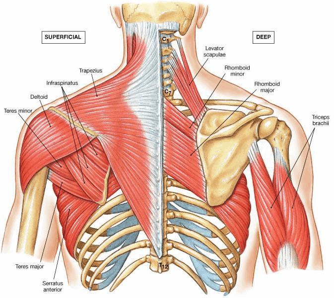 scapular stabilizer muscles hunchback posture