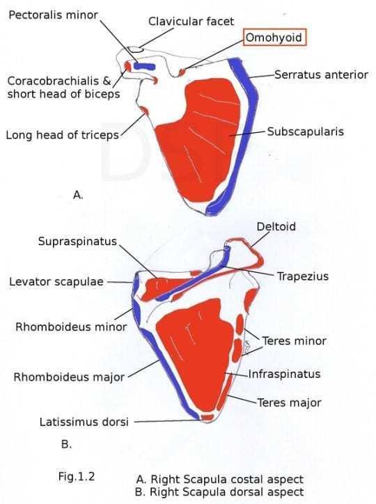 winged-scapula-anatomy