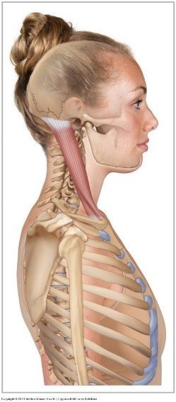 neck sternocleidomastoid anatomy