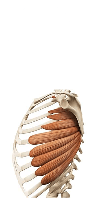 serratus-anterior-exercises-anatomy