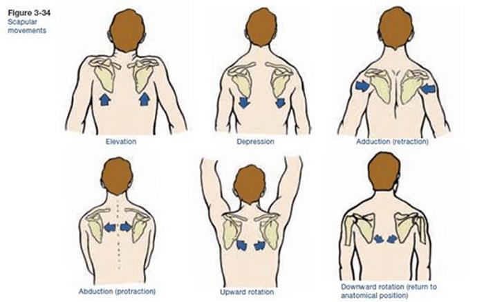 scapular movements shoulder rotation