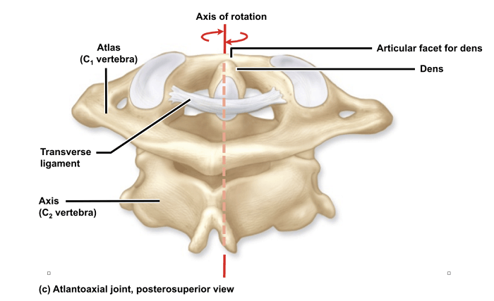 stiff neck cervical vertebrae anatomy
