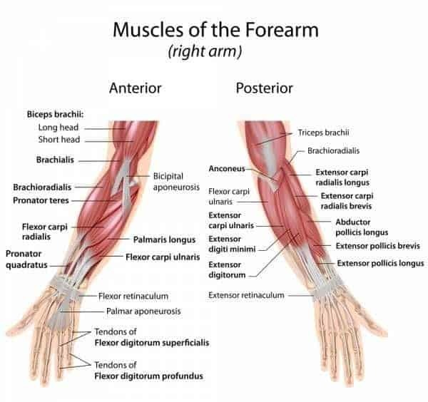Your wrist is surrounded by multi-joint muscles that span several joints. For the most part, these muscles start in your forearm and cross the radiocarpal joint between your radius and the first row of small carpals, or wrist bones.