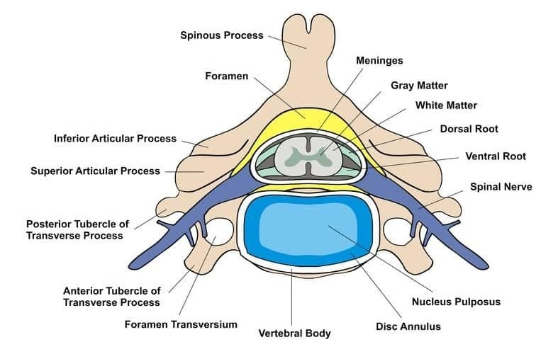 intervertebral disc anatomy cross section