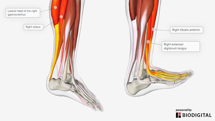 ankle range of motion anatomy